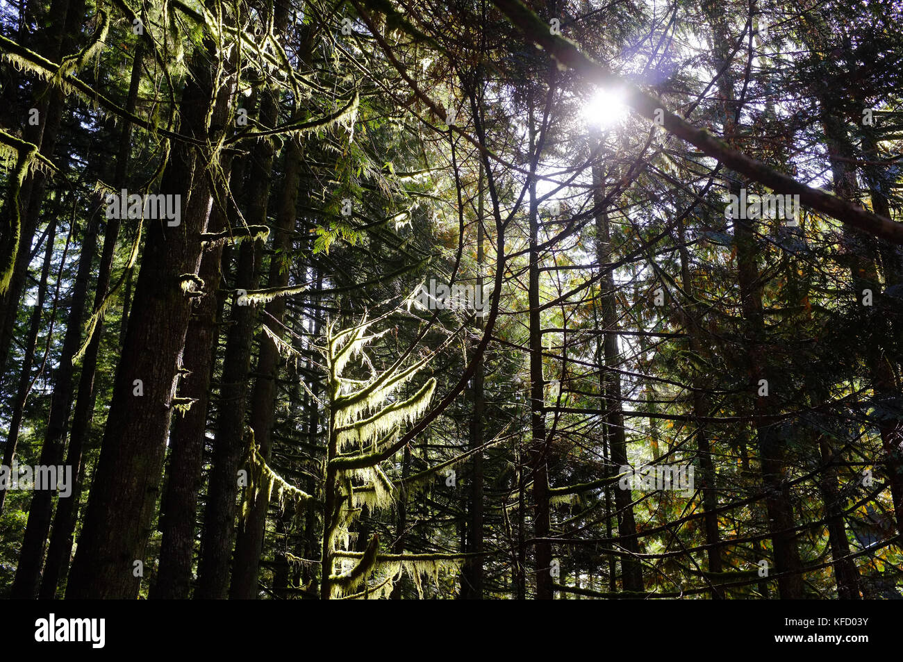 The tree canopy in the Lynn valley nature reserve in Vancouver & The tree canopy in the Lynn valley nature reserve in Vancouver ...