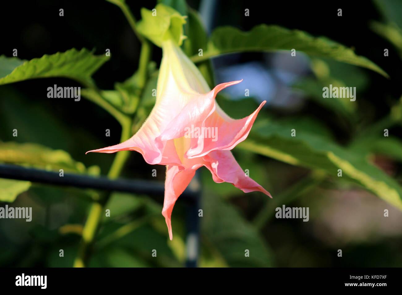 Pink Angels Trumpet Flower Brugmansia Arborea Closeup Of Fully