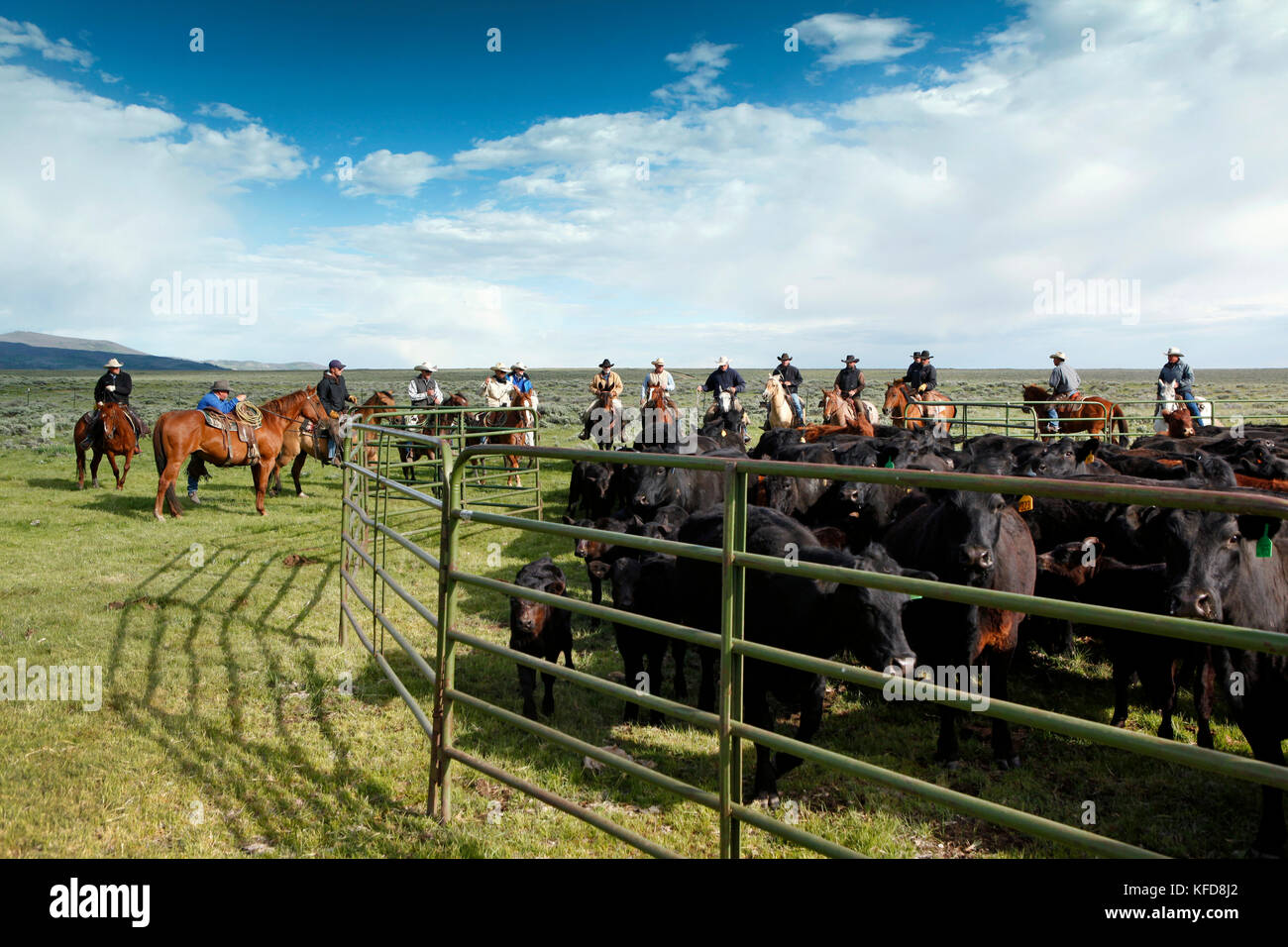 Cattle branding stock photos cattle branding stock images alamy usa wyoming encampment cowboys move cattle into a corral for branding big buycottarizona