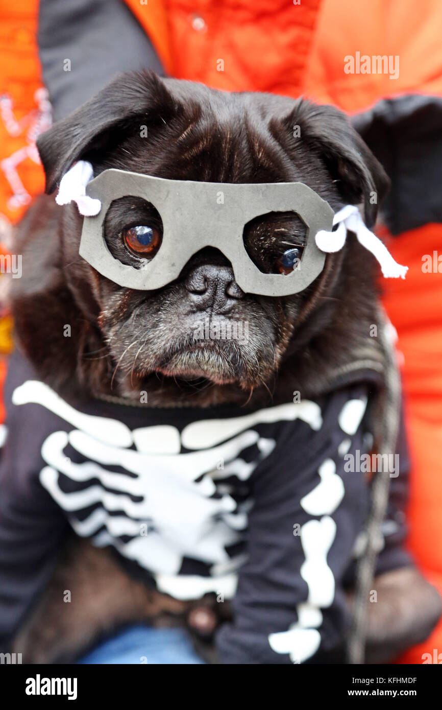 odin the pug looks great in his mask and skeleton costume at the all dogs matter halloween dog walk hampstead heath london credit paul brownalamy live