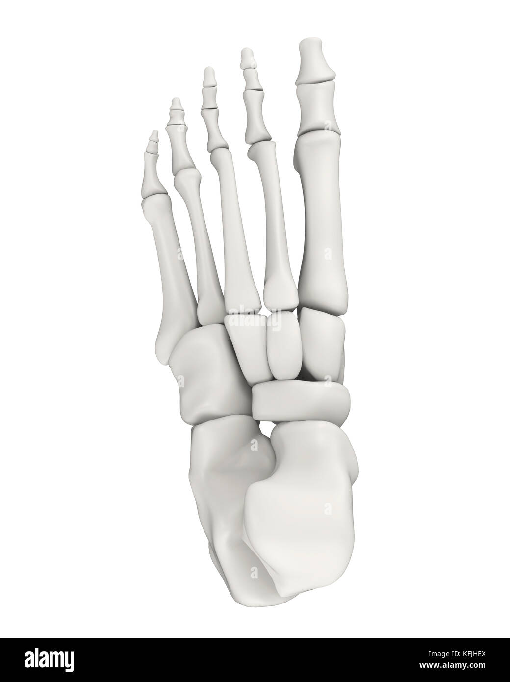 Foot Bones Anatomy Isolated Stock Photo: 164522034 - Alamy