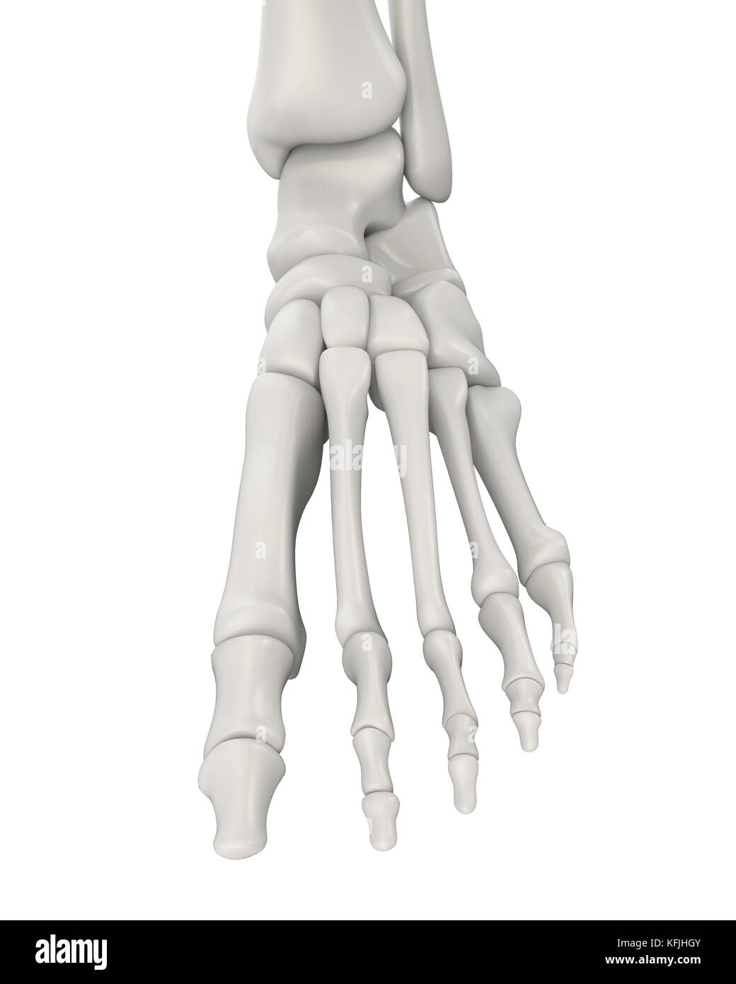 Foot Bones Anatomy Isolated Stock Photo: 164522091 - Alamy