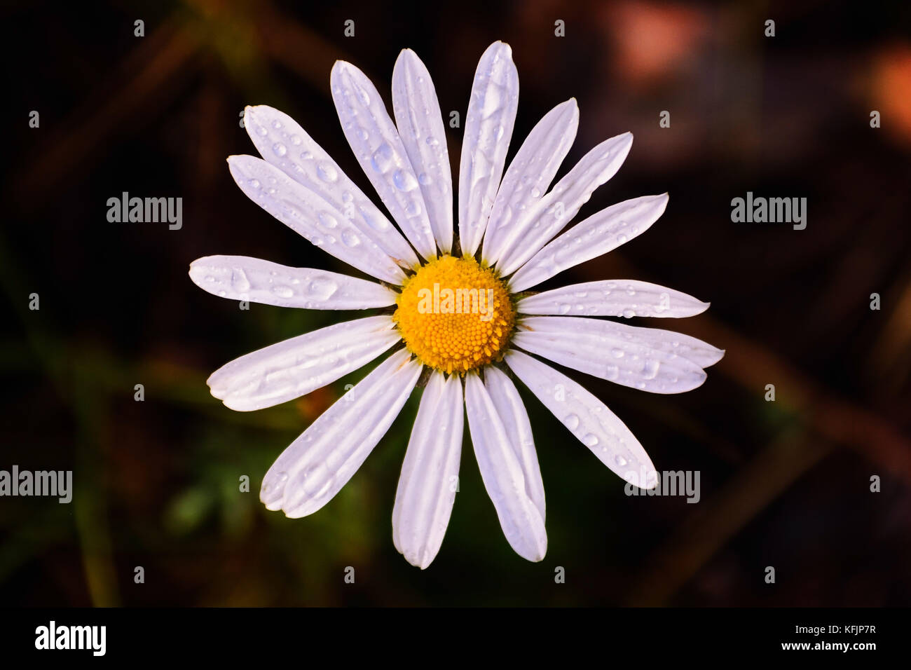Head Of Daisy Flower With White Petals And Yellow Center On Dark
