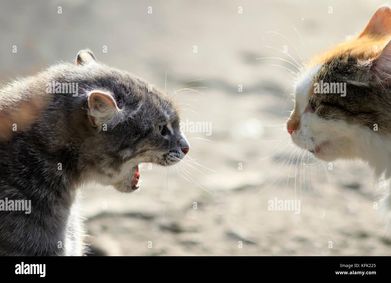 sphynx cat kansas city