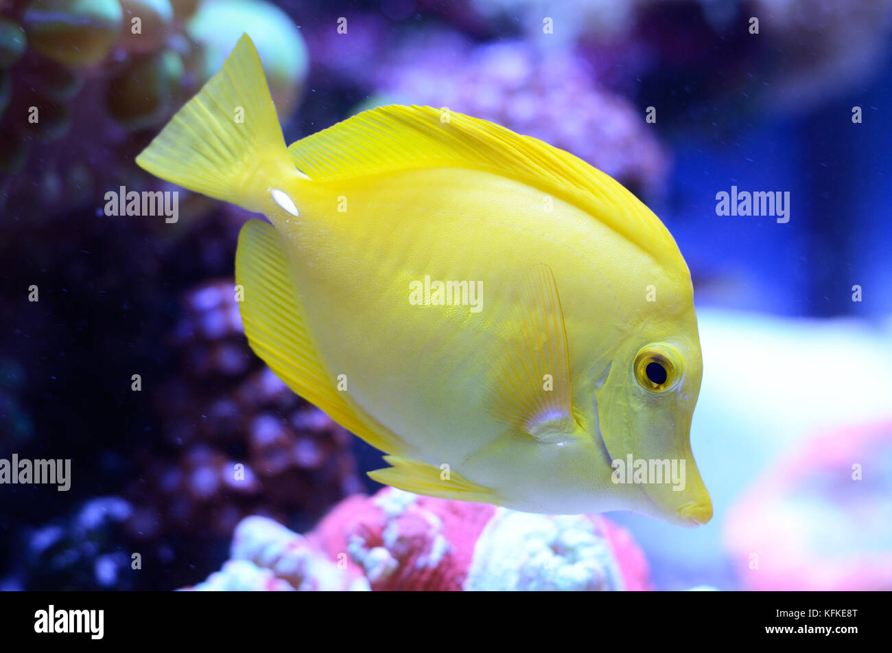 Zebrasoma flavescens yellow tang acanthuridae stock photos for Yellow fish tank water