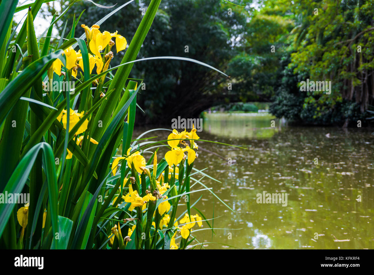 Bush With Yellow Flowers In A Pond Stock Photo 164548696 Alamy