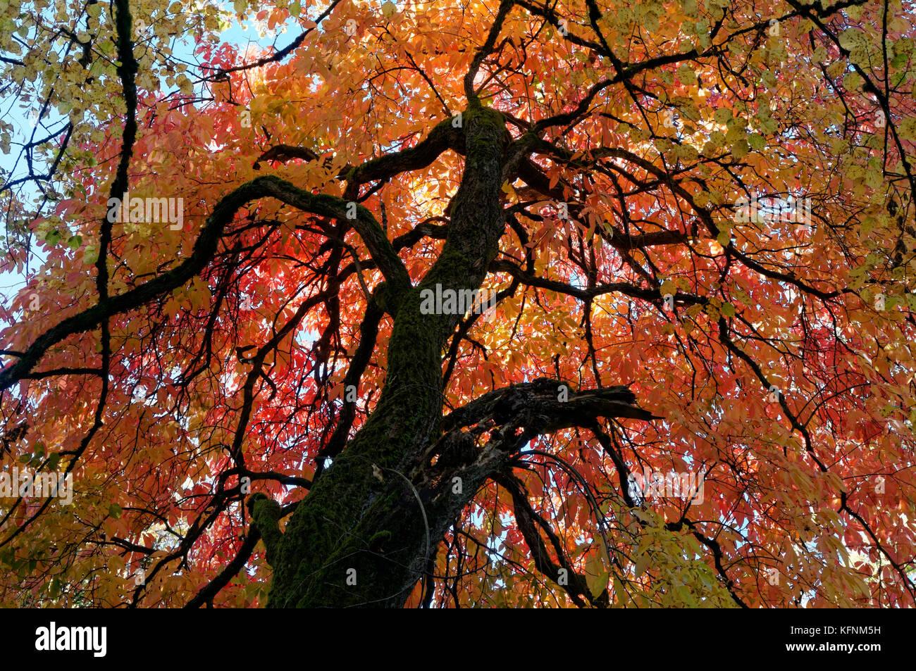 colorful-fall-foliage-of-a-big-leaf-lind
