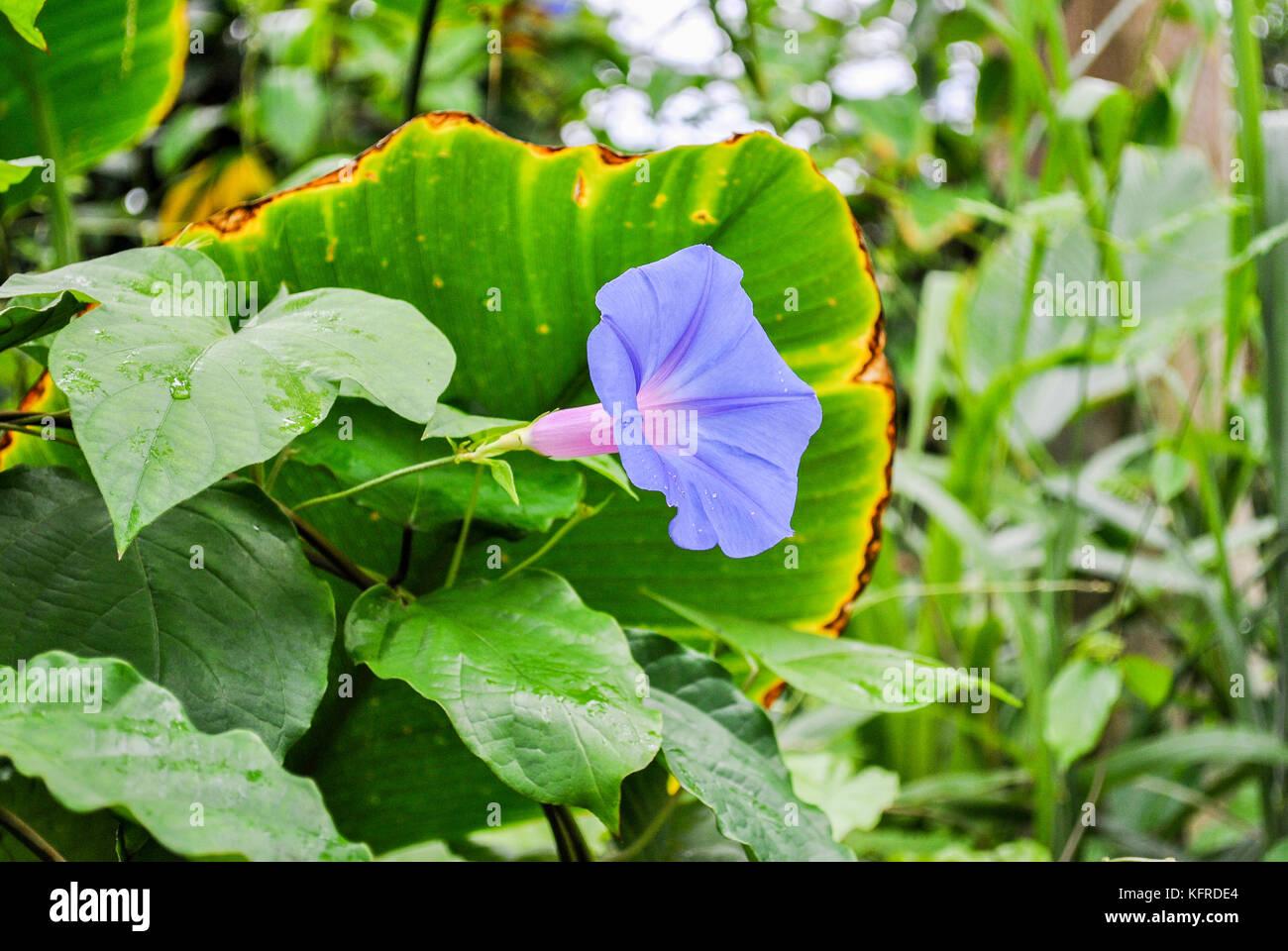 Ipomoea acuminata stock photos ipomoea acuminata stock images alamy blue dawn flower ipomoea acuminata stock image izmirmasajfo Choice Image