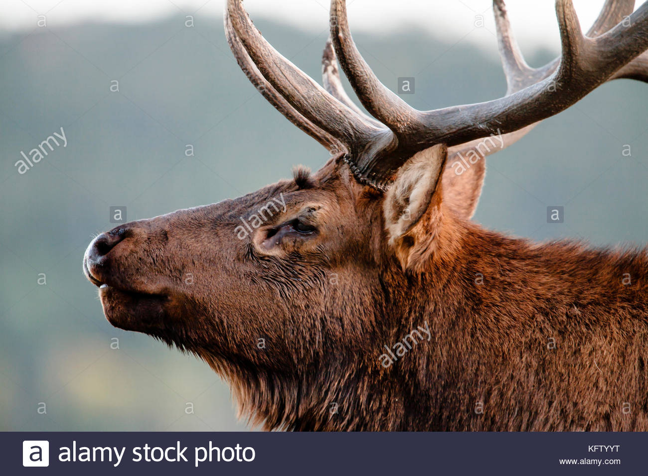 Elk face side