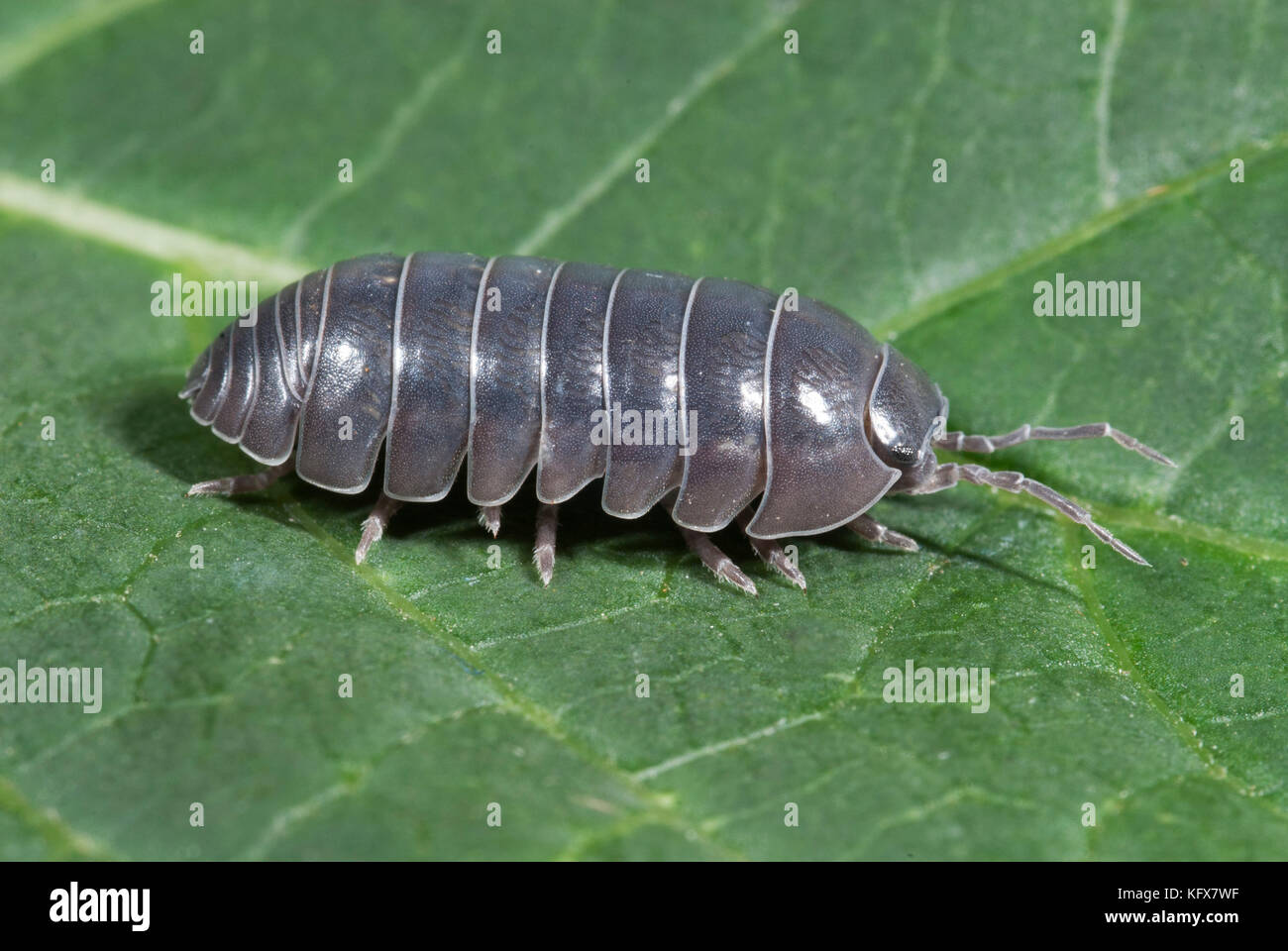 Woodlice Uk Stock Photos and Images