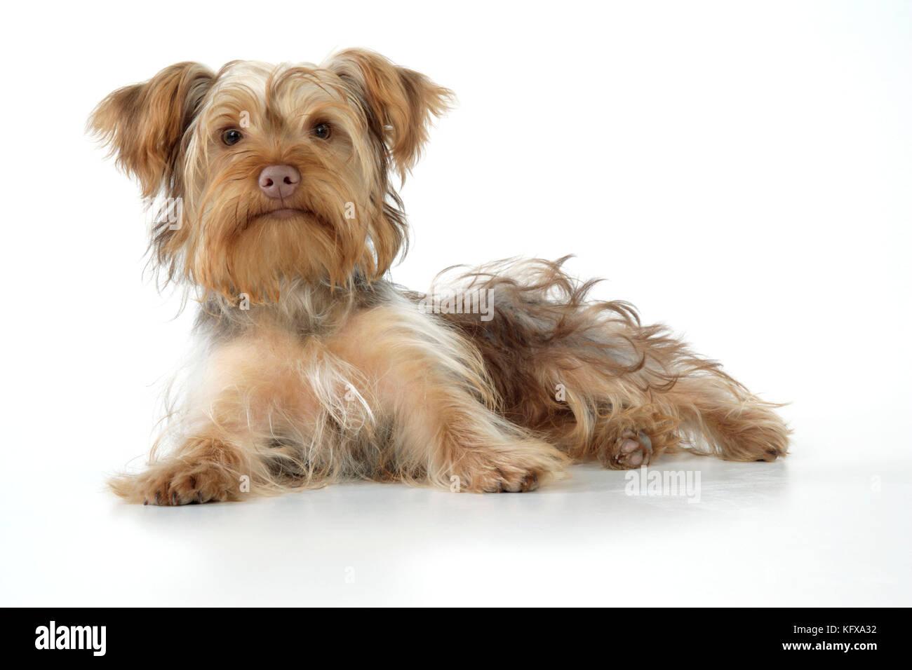 Dog Poodle X Yorkie Yoodle Or Yorkie Poo Cross Breed Of