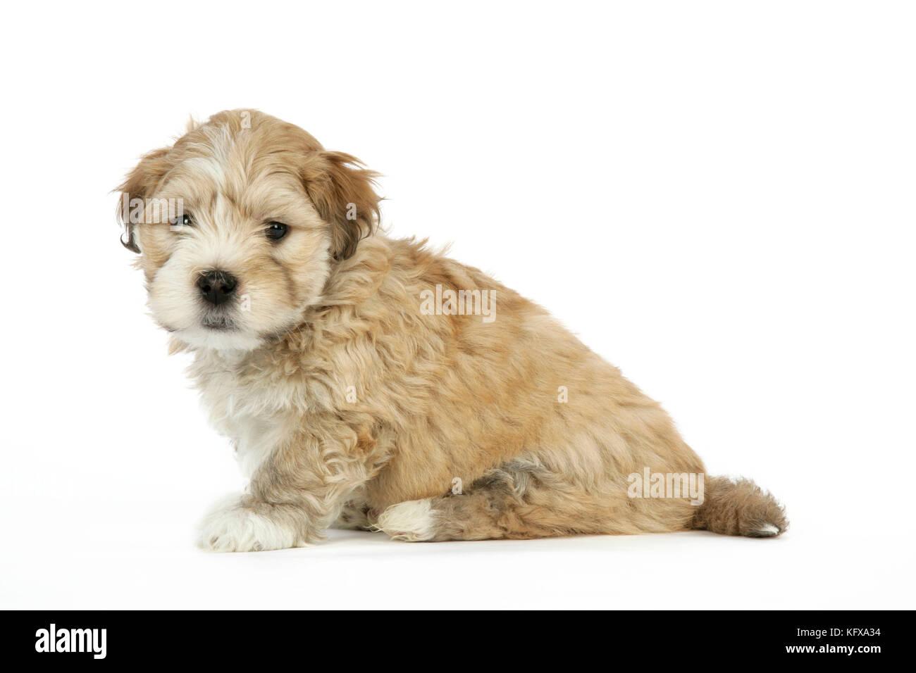 Dog 7 Weeks Old Lhasa Apso Cross Shih Tzu Puppy Stock Photo