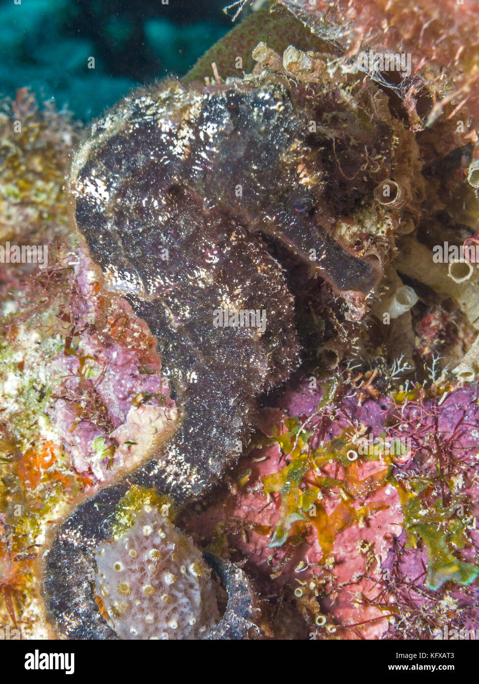 Spotted seahorse stock photos spotted seahorse stock for Is a seahorse a fish