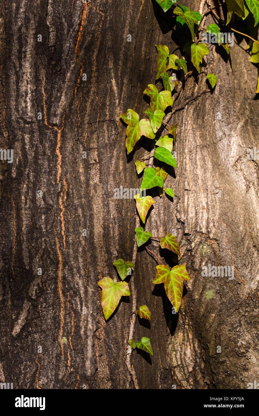 Climbing Ivy Stock Photos Amp Climbing Ivy Stock Images Alamy