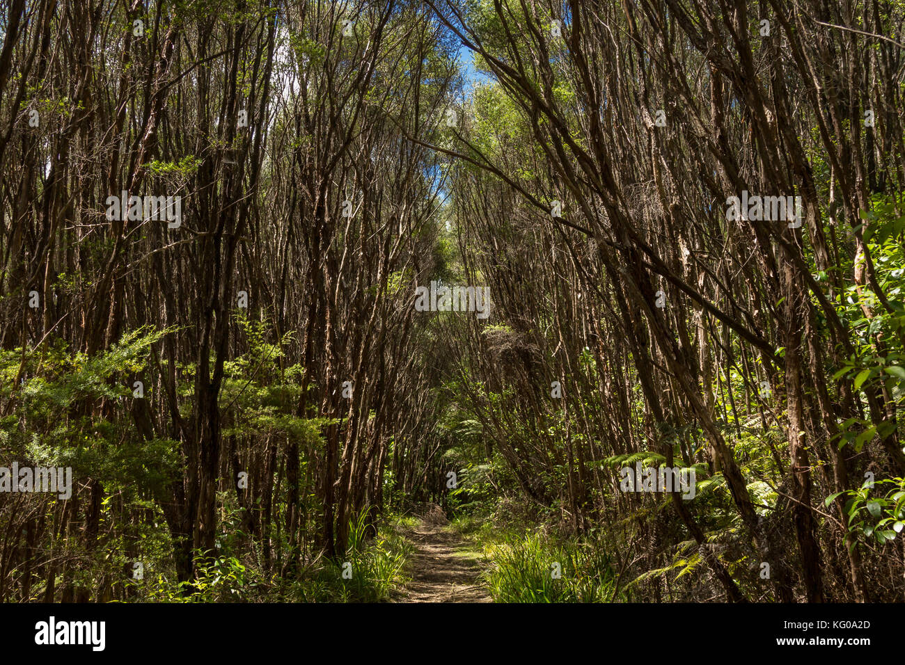 On The Parau Track In Aucklands Waitakere Ranges New Zealand