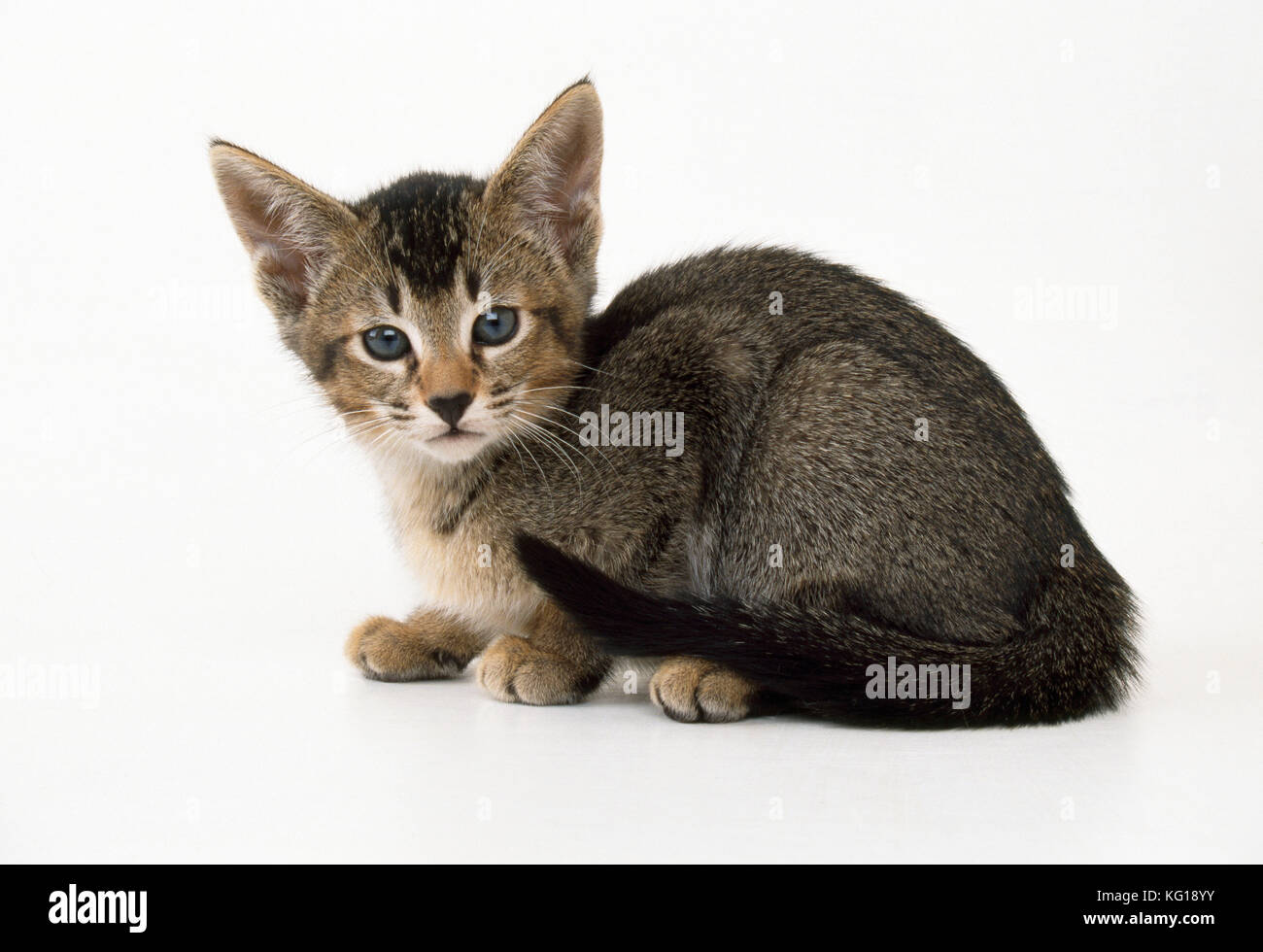 Abyssinians Stock s & Abyssinians Stock Alamy