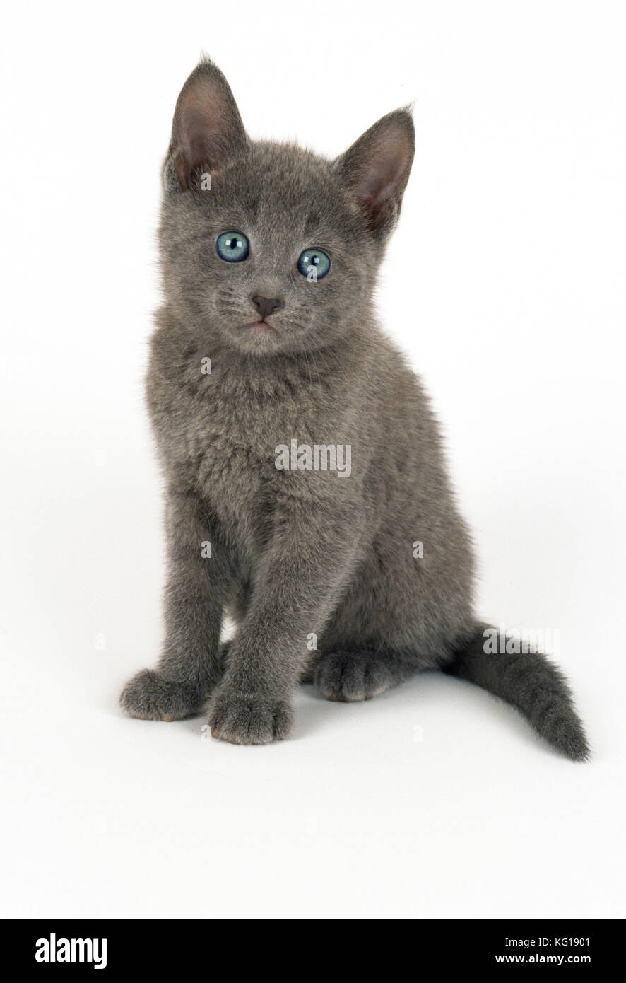 Russian Blue Kitten Stock s & Russian Blue Kitten Stock