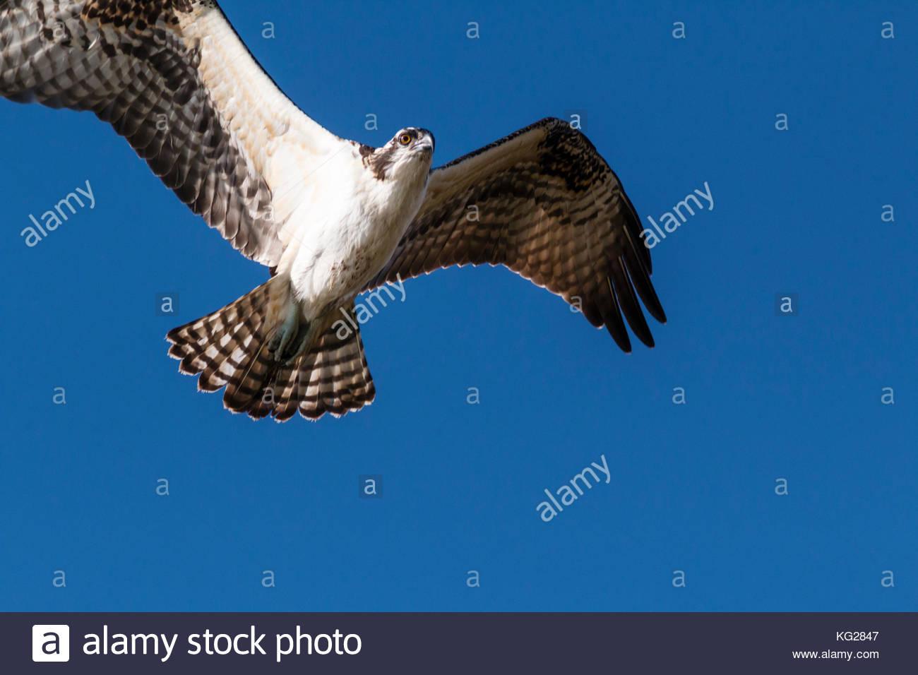 osprey-pandion-haliaetus-in-flight-new-mexico-usa-KG2847.jpg