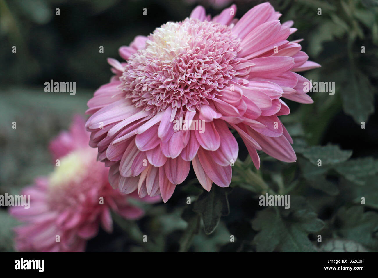 This Bright Pink Cushion Mum Shows Two Different Types Of Petals On