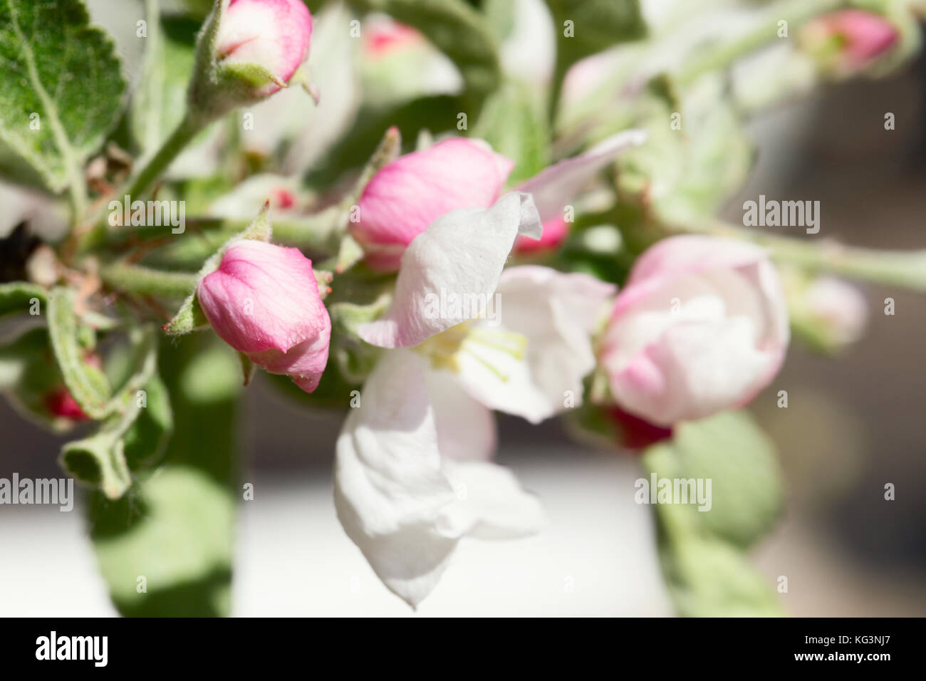 Branch Apple Tree With Flowers And Pink Buds Close Up Small Depth