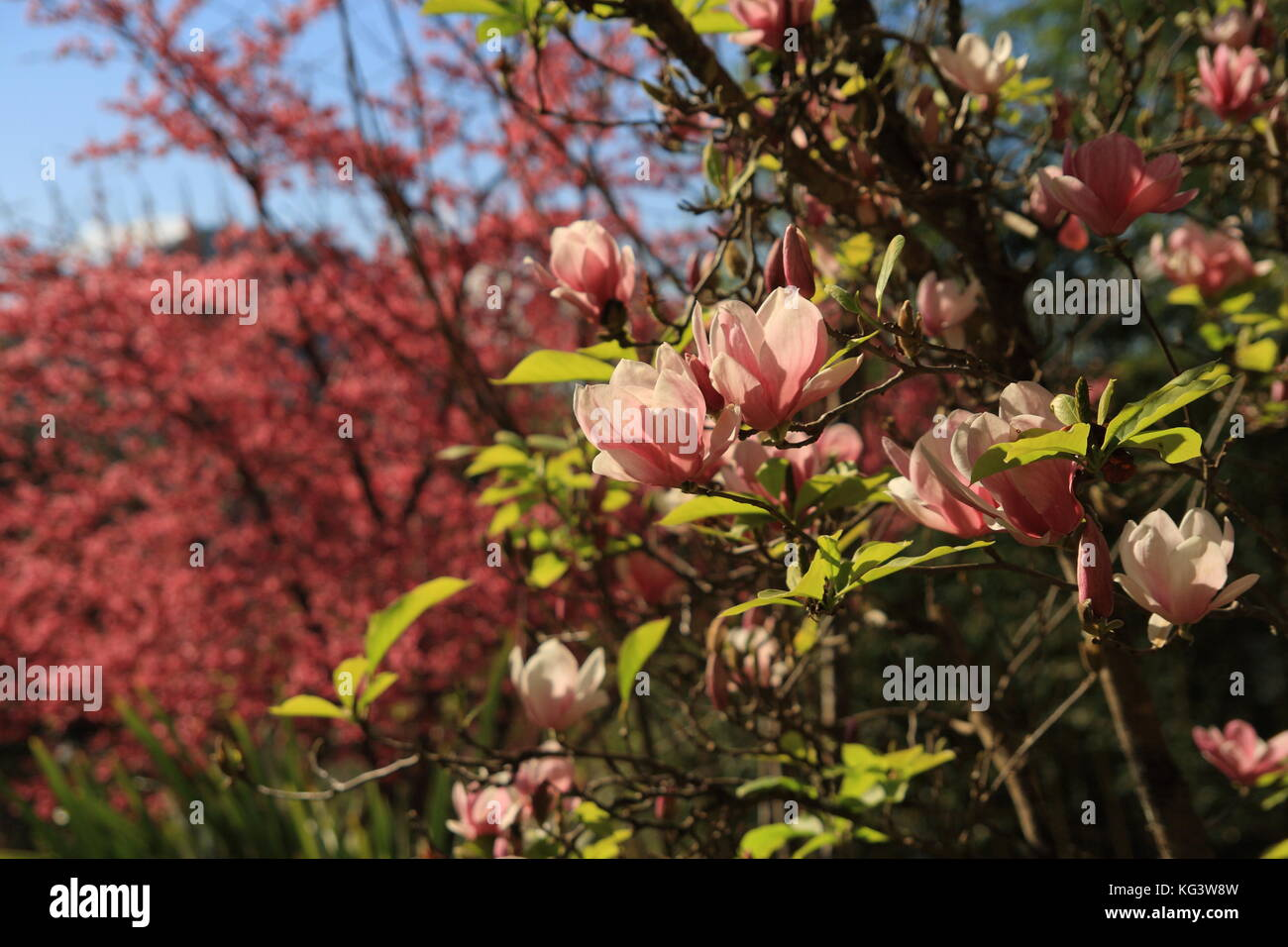 Beautiful Magnolia Flowers Blooming Magnolia Tree In The Spring