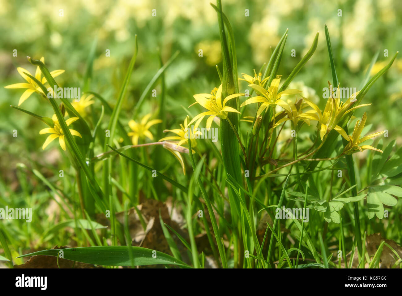 Beautiful spring floral background with bright small yellow flowers beautiful spring floral background with bright small yellow flowers gagea in the grass close up on a sunny day mightylinksfo