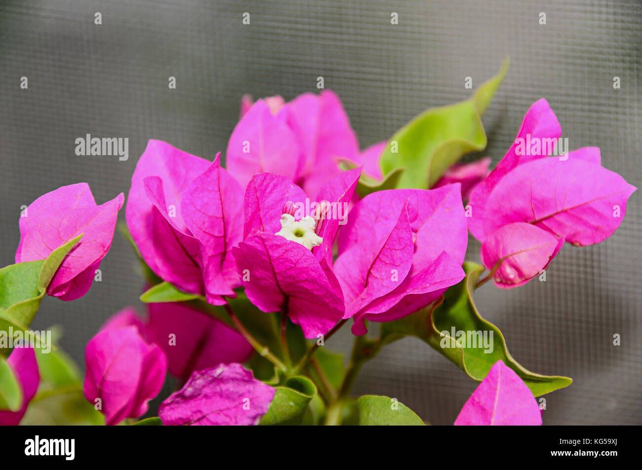 Bougainvillea Pink Branch Flowers Paper Flower With Green Leafs