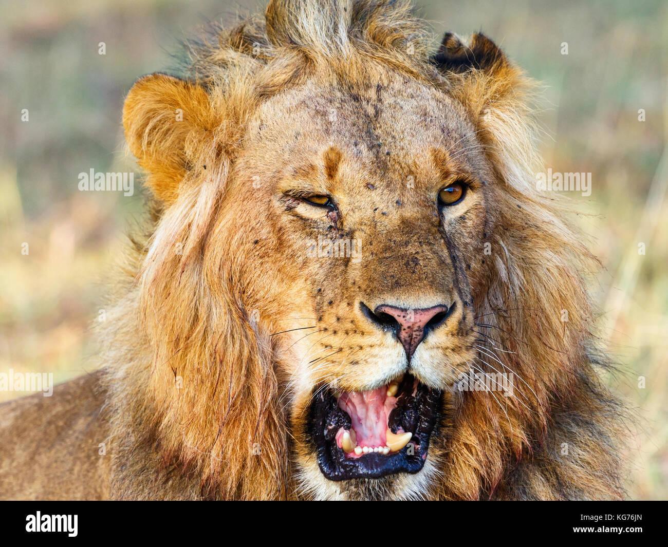 Lion Roar Mane Stock Photos & Lion Roar Mane Stock Images ... - photo#5