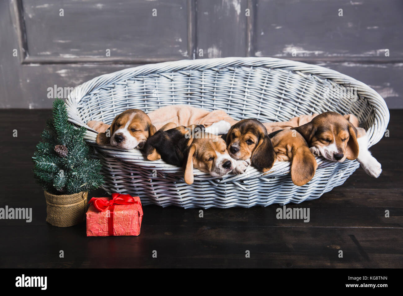 six beagle puppies sleeping in basket young beagle puppy gift box