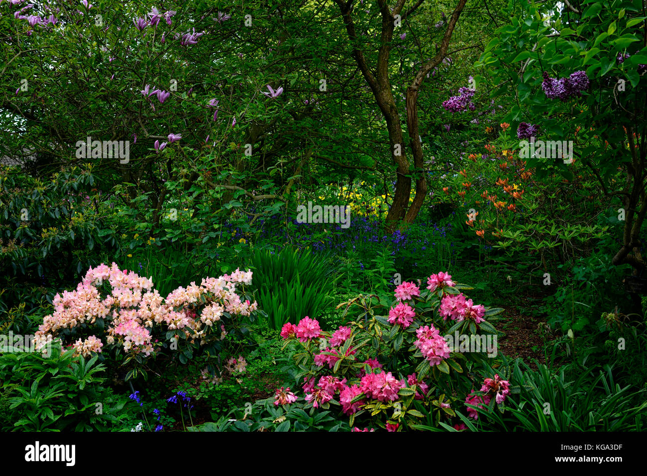 Woodland Planting Magnolia Rhododendron Azalea Bluebells Lilac