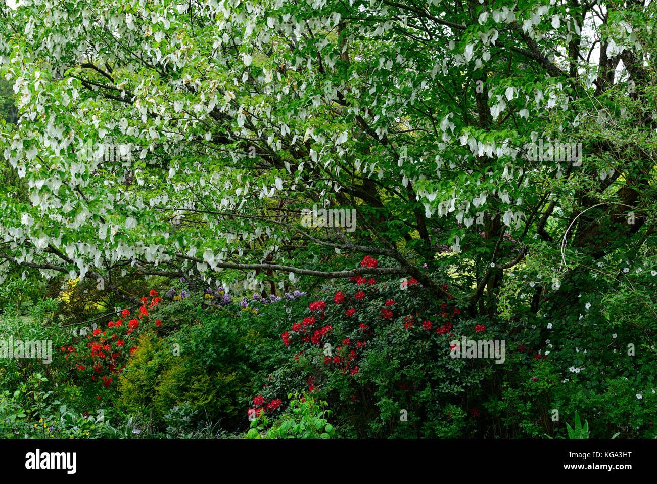 Davidia Involucrata Dove Tree Handkerchief Tree White Flower