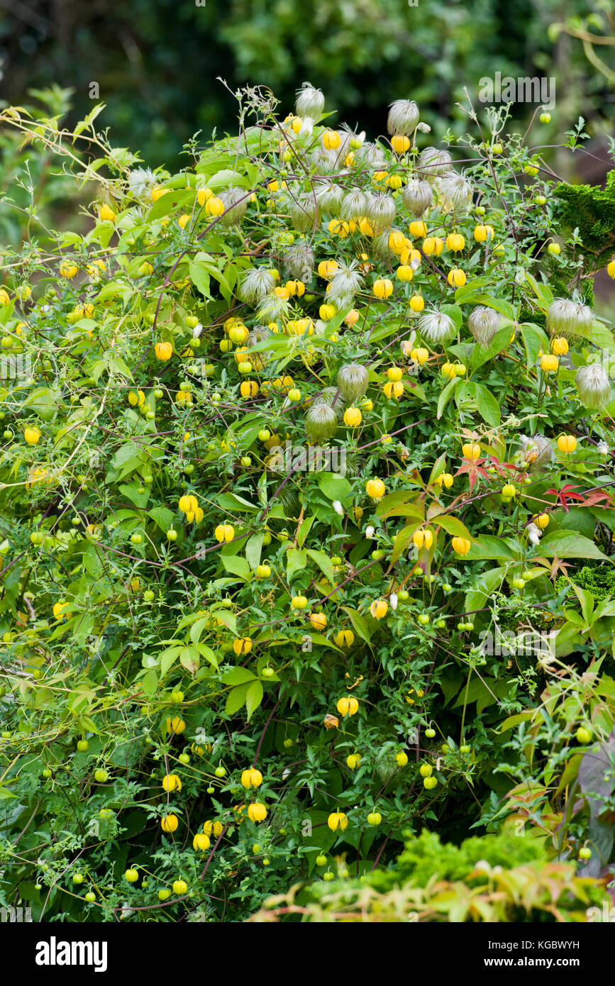 Clematis Bill Mckenzie In Autumn With Yellow Bell Shaped Flowers And
