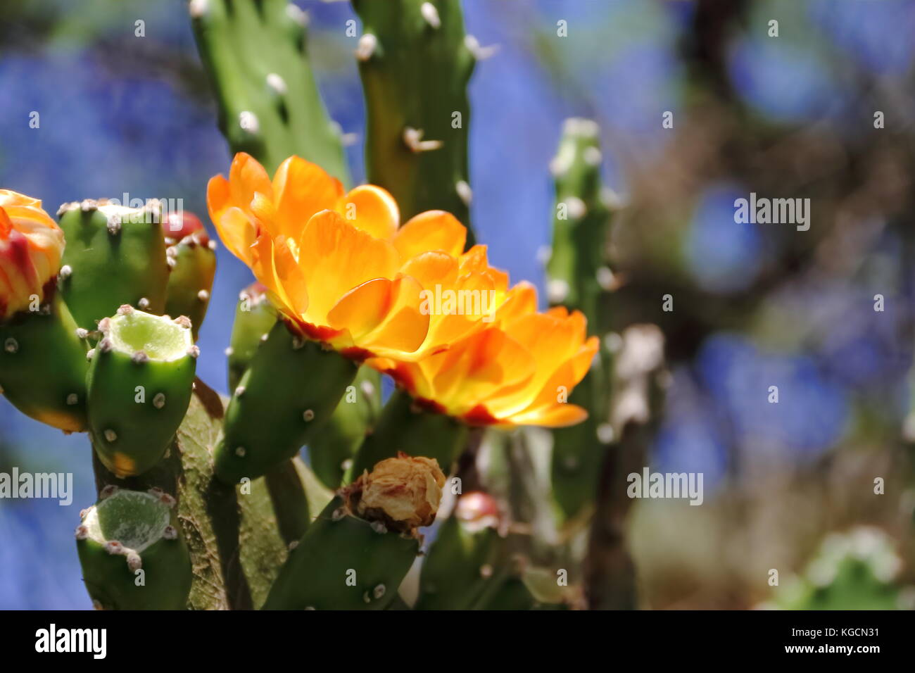 Pianta Grassa Fiori Gialli.Cactus And Succulents With Yellow Flowers In Spring Stock Photo