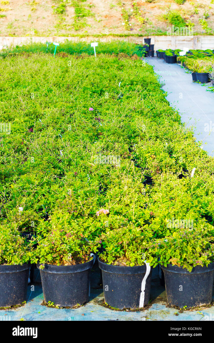 Many Flowerpots With Small Bushes Spirea Pink Flowering Plants Lined