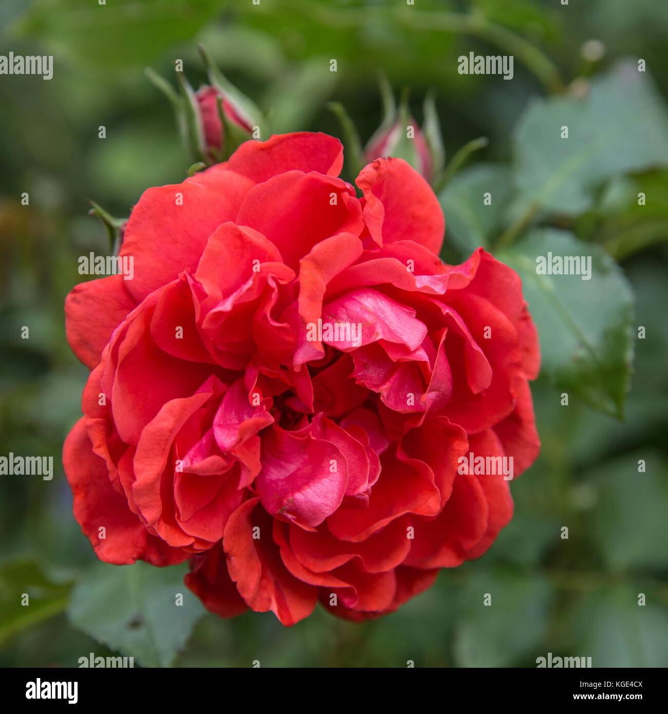 Beautiful red rose in a garden stock photo royalty free image beautiful red rose in a garden izmirmasajfo
