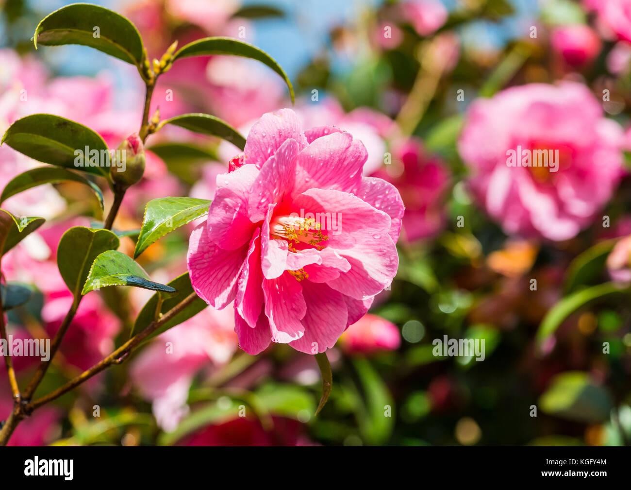 Camellia stock photos camellia stock images alamy - Camelia fotos ...