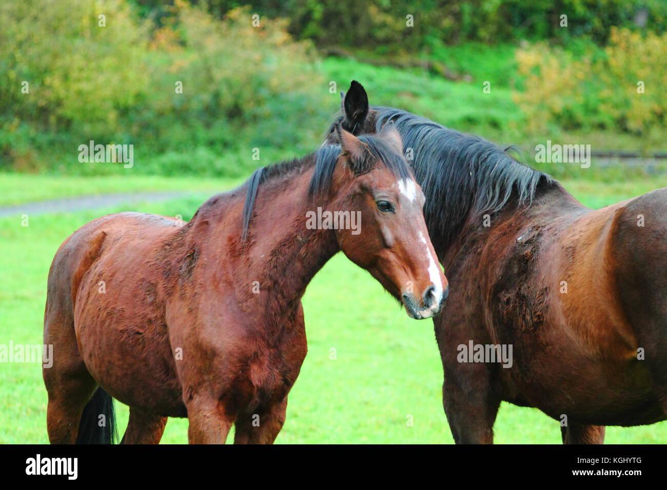 Chestnut Horses Stock Photos & Chestnut Horses Stock ... - photo#5