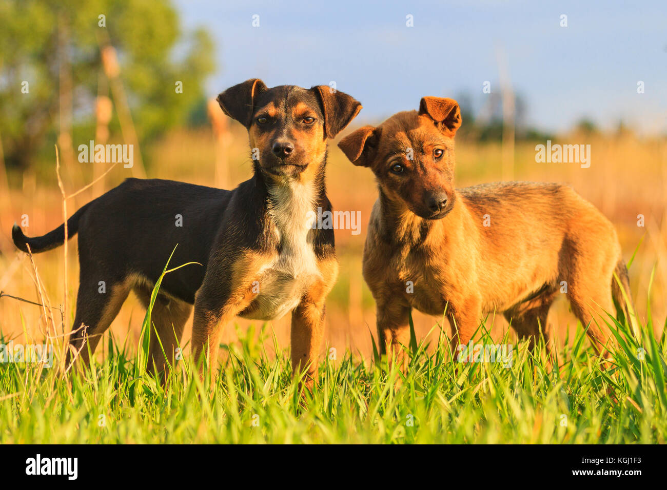 Gray small terrier mix dog stock photos gray small terrier mix dog puppies with merry eyes in among the green grass symbol of the year 2018 buycottarizona Image collections