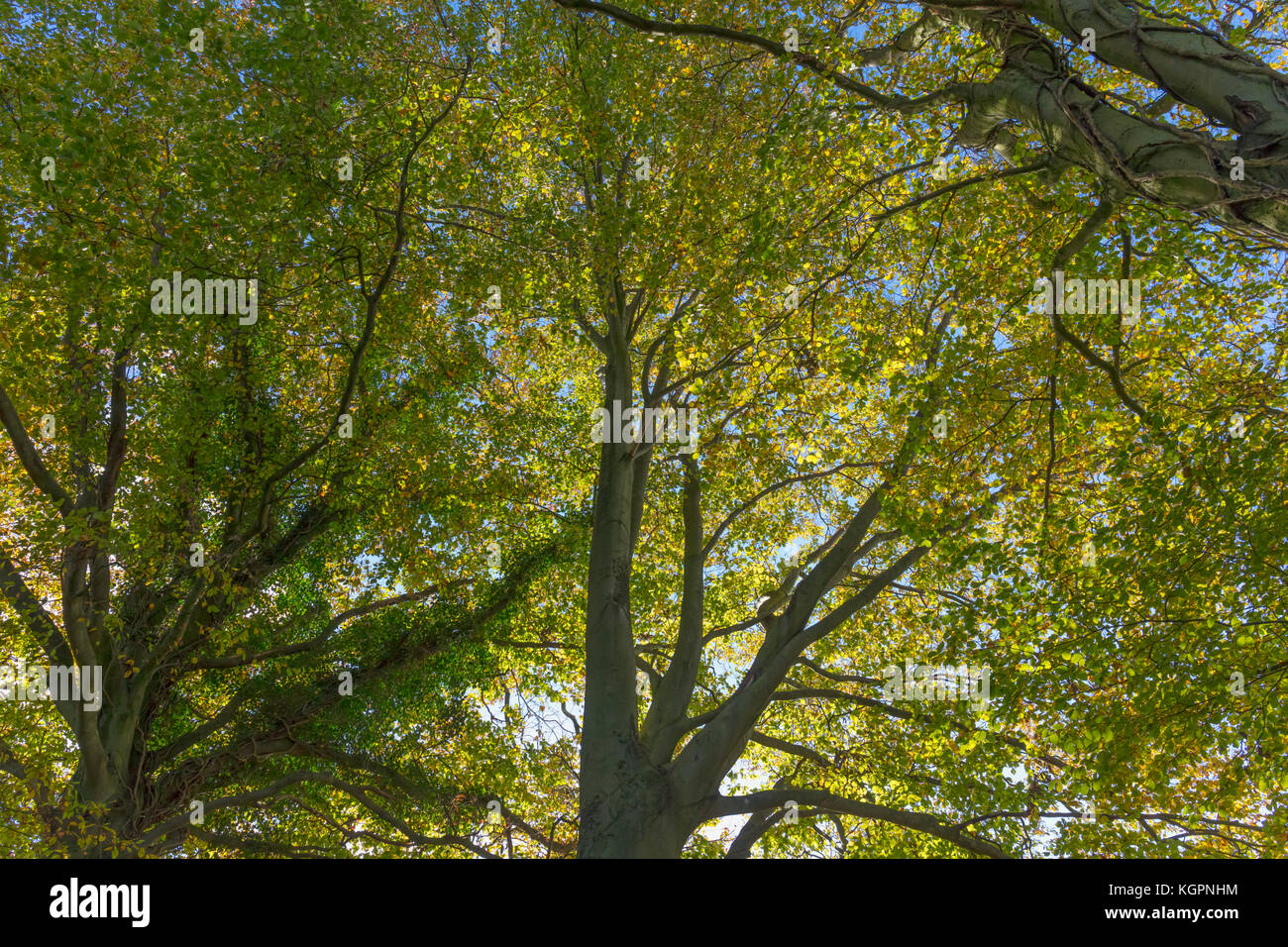 Beech Tree Canopy Looking up Autumn St Catherineu0027s Hill Winchester H&shire England United Kingdom & Beech Tree Canopy Looking up Autumn St Catherineu0027s Hill Stock ...