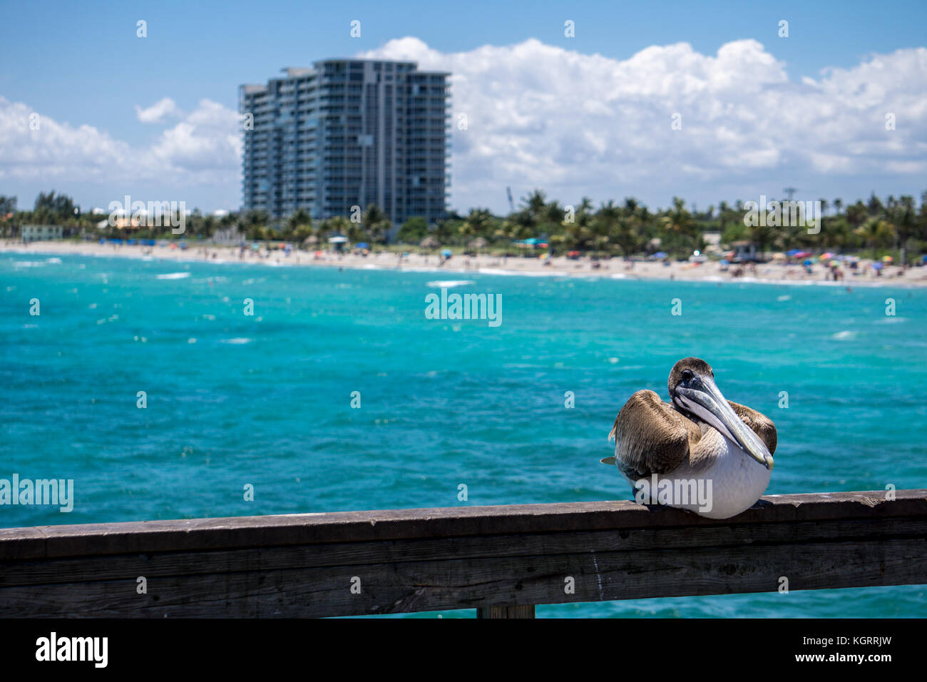 Pelican In Dania Beach Fishing Pier Florida Stock Photo 165251265