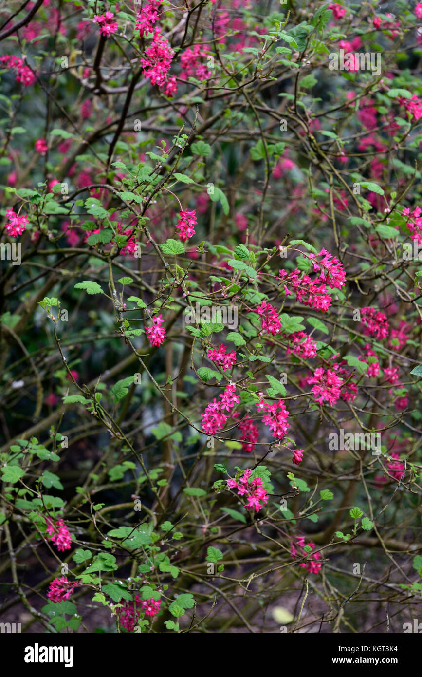 Ribes Sanguineum Red Pimpernel Flowering Currant Closeup Pink