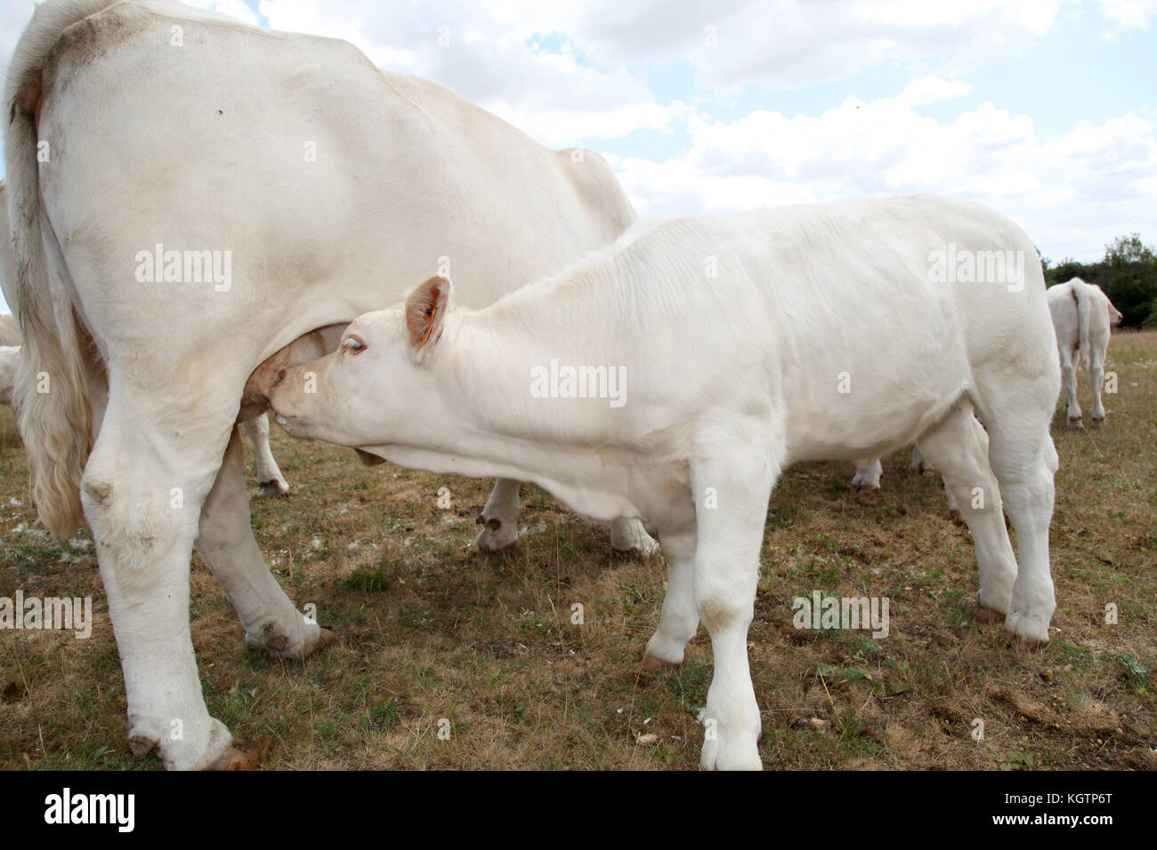 Cow Udder Stock Photos & Cow Udder Stock Images - Alamy