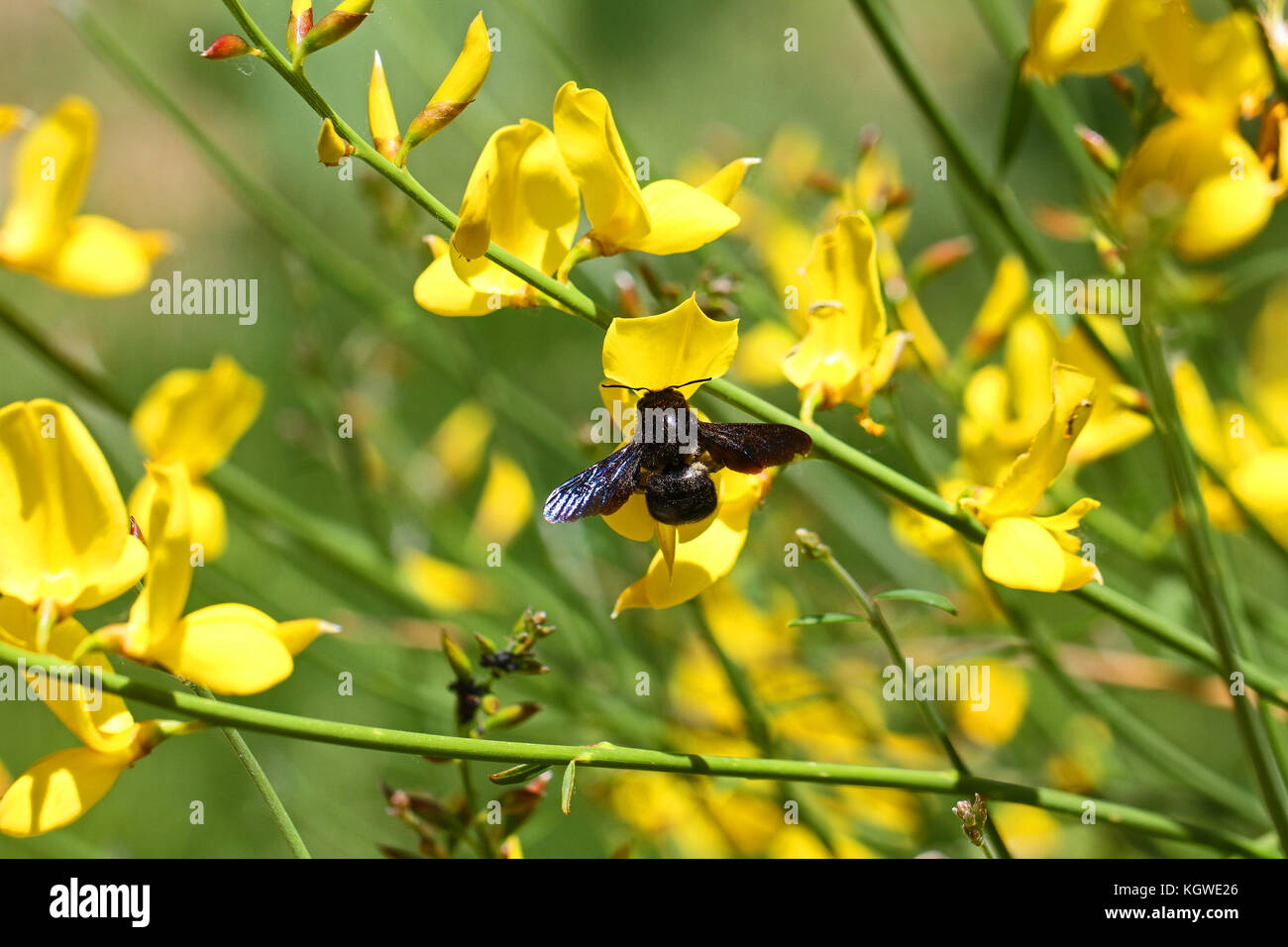 Carpenter Bee Latin Name Xylocopa Violacea On Yellow Broom Or Stock