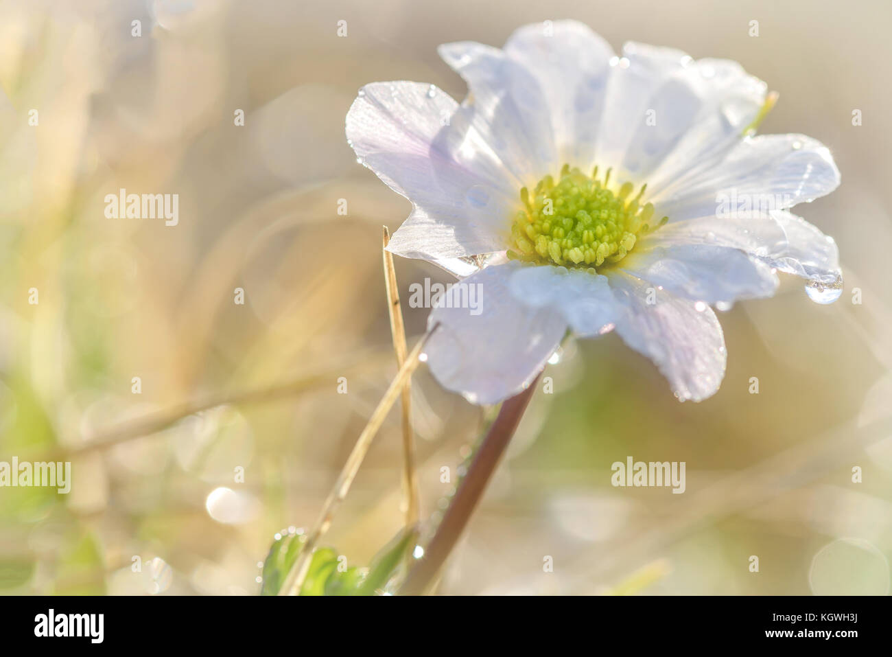 Floral natural background with beautiful wild flower with white floral natural background with beautiful wild flower with white petals and yellow middle with dew drops close up on blurred background mightylinksfo