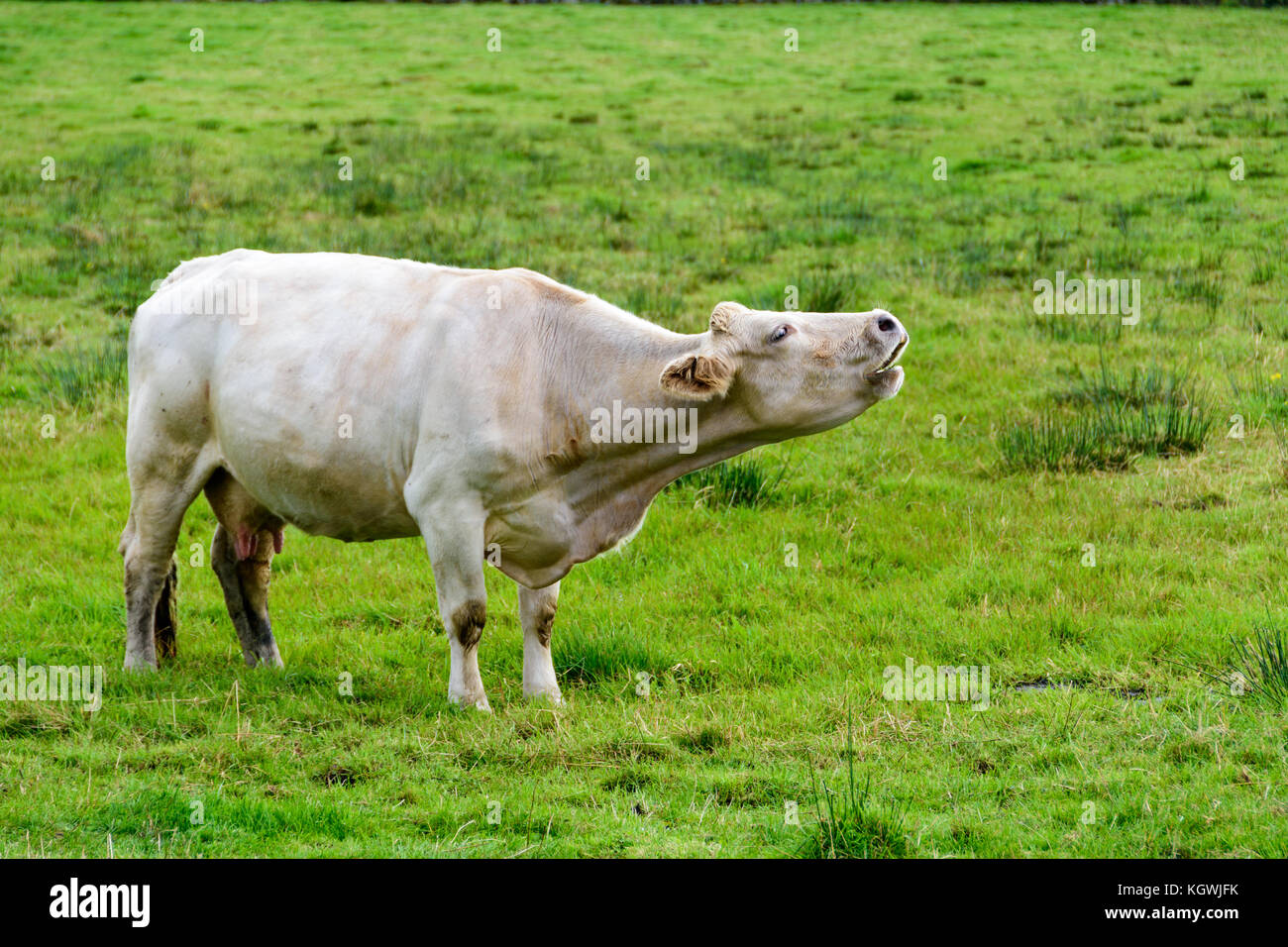 Image result for Images of cows grazing freely