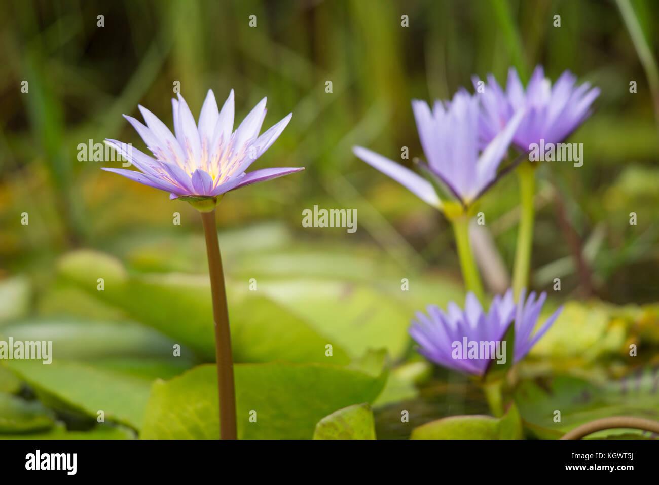 Purple Water Lily Flowers In A Ugandan Wetland Africa Stock Photo