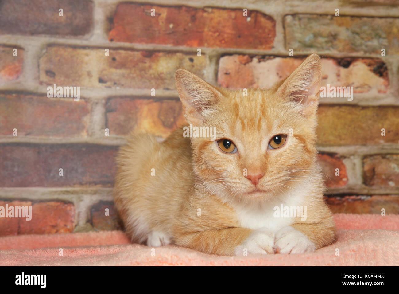 Portrait of one orange and white stripped ginger tabby kitten