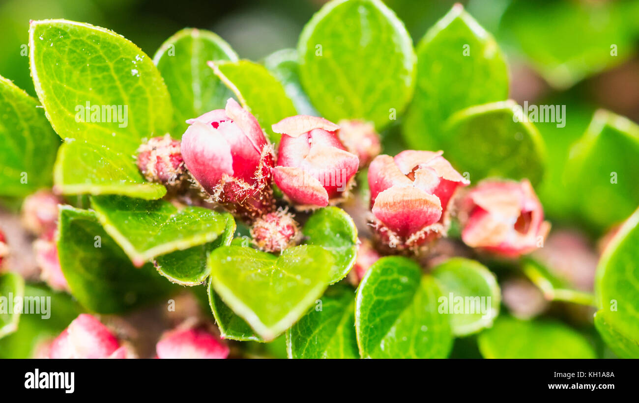 A macro shot of the small pink flowers of a cotoneaster bush stock a macro shot of the small pink flowers of a cotoneaster bush mightylinksfo