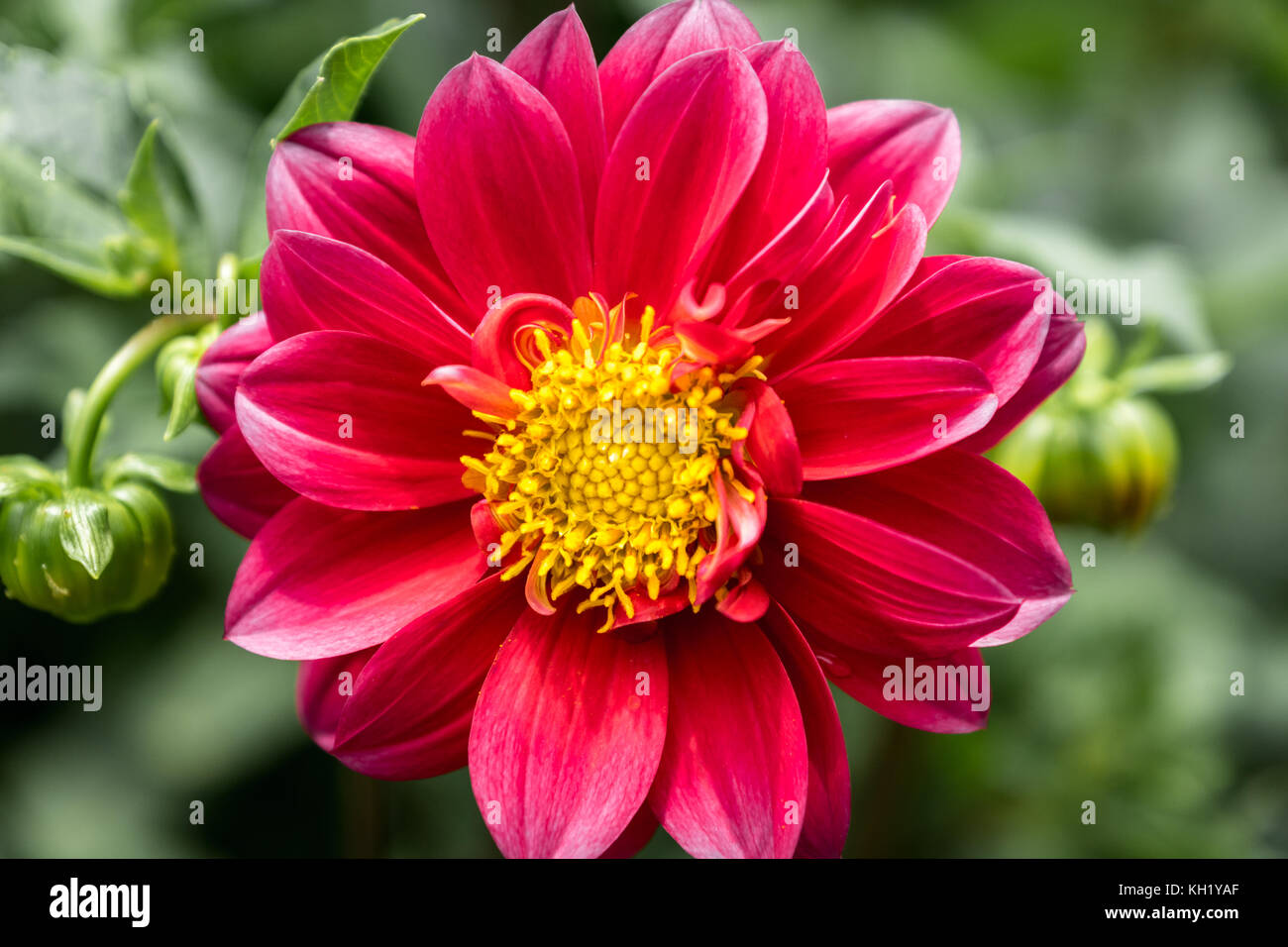 Dahlia Flower In Pink And Yellow Color Closeup With Blurred Stock