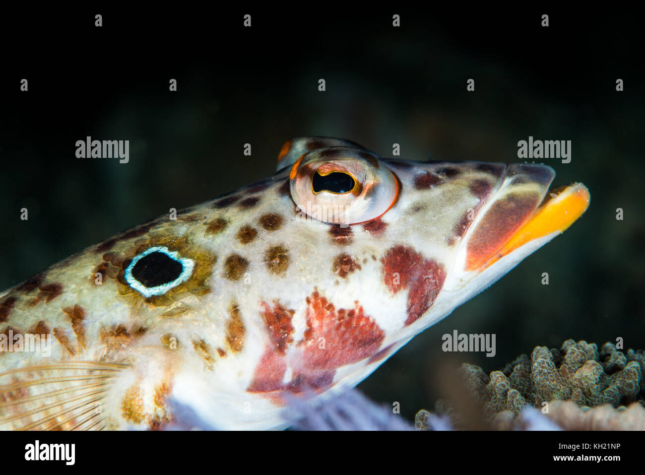 Latticed sandperch fish on a coral reef stock image